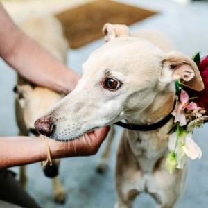 Louis the whippet and flower collar
