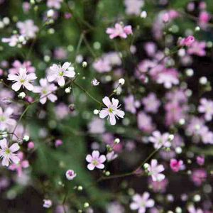 Rose Gypsophila