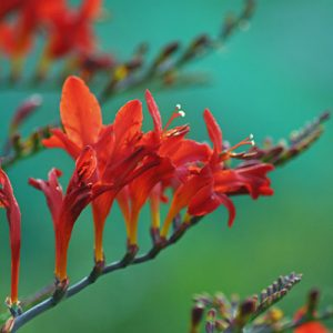 Fiery Crocosmia