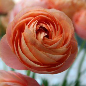 Ranunculus, peach
