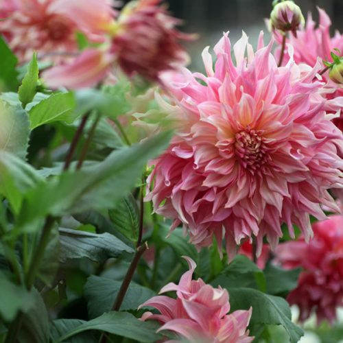 September Dahlia at G&G