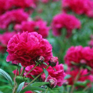 Peonies in full bloom