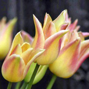 Elegant Lady Tulip