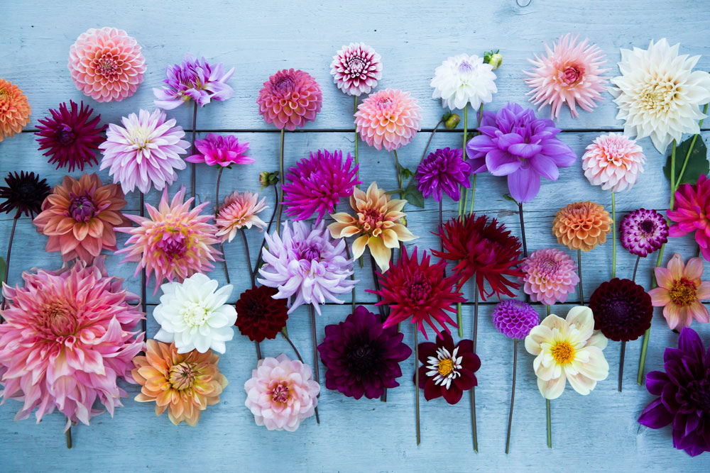 Dahlias grown at Green and Gorgeous