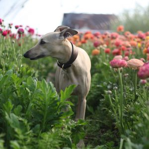 whippet amongst spring bulbs