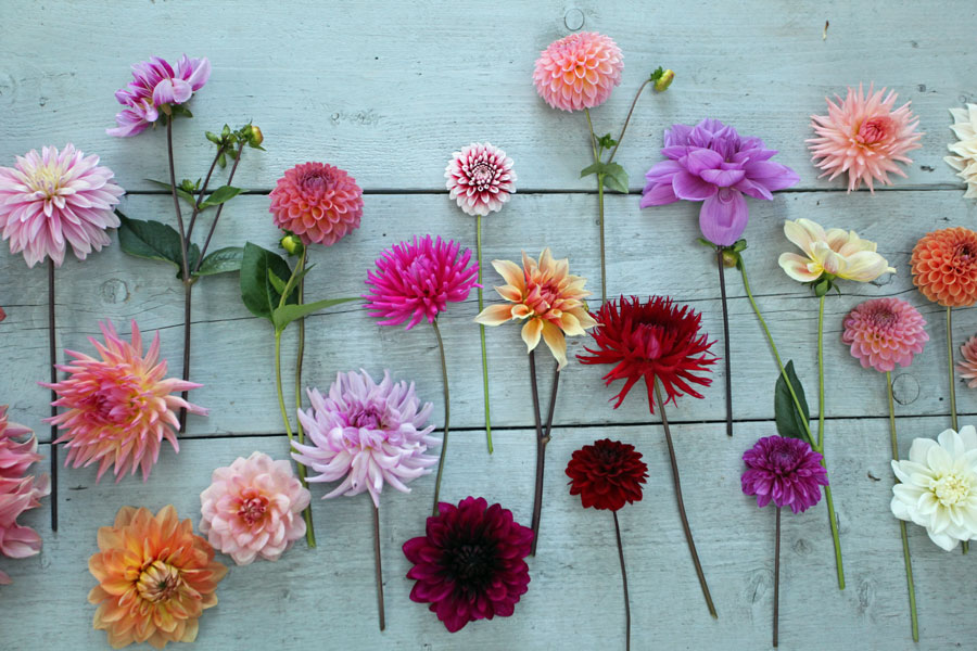 dahlias grown by Green and Gorgeous