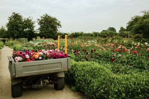 Dahlia picking for courses and farm gate sales