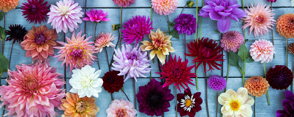 Dahlias grown in Oxfordshire at G&G