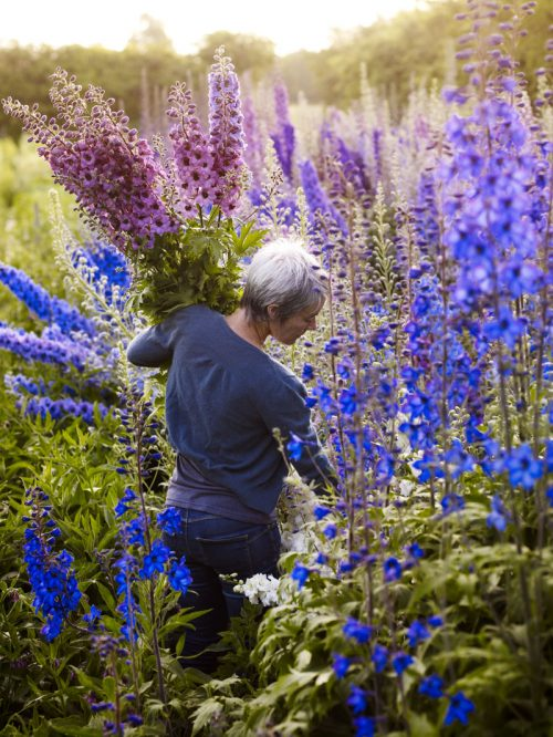Delphinium picking