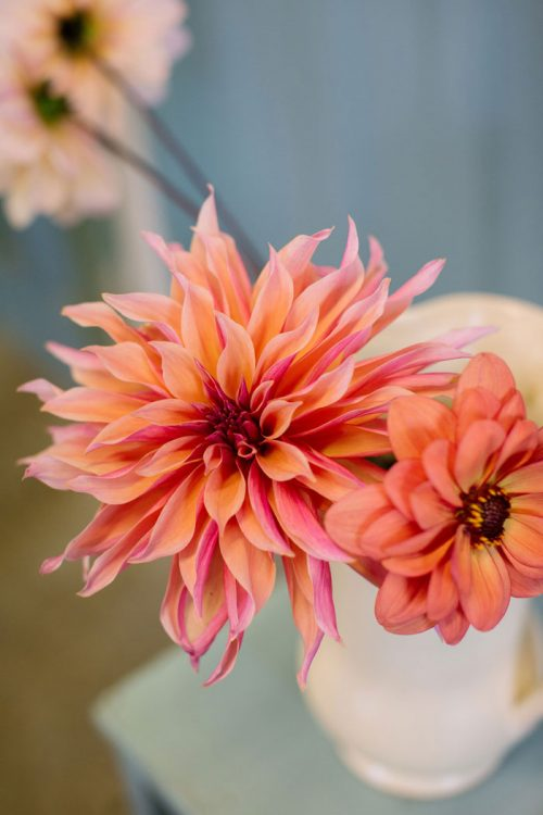 Dahlia in cup