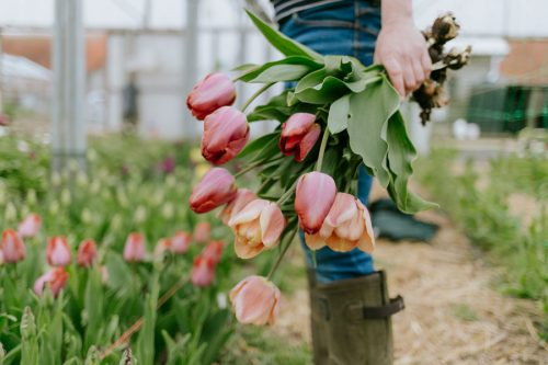 Harvesting tulips from polytunnels