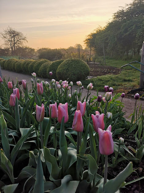 Tulips grown by Oxfordshire florist