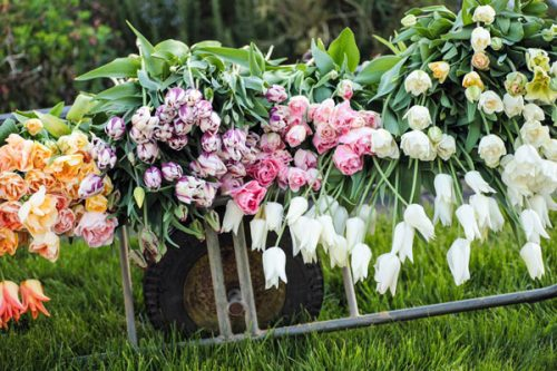 Tulips being harvested by Oxfordshire florist