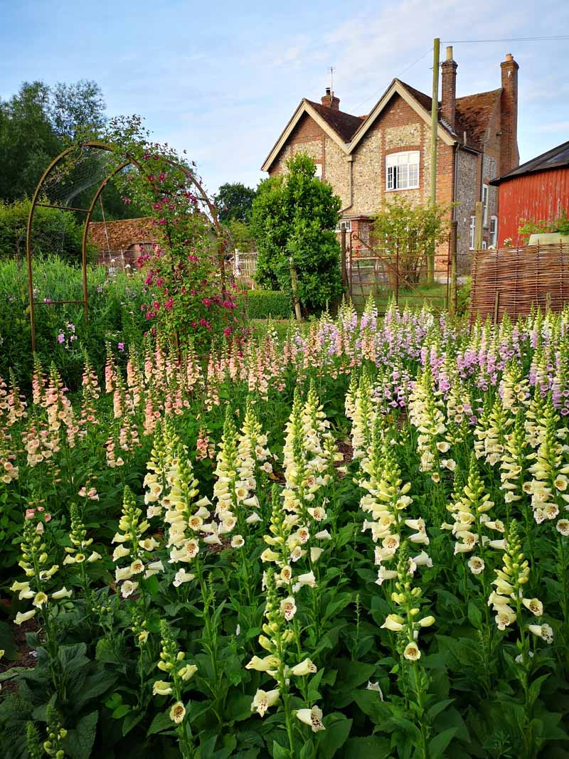 Foxgloves in the Learning Garden at Green and Gorgeous