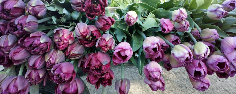 tulips-on-the-trolley